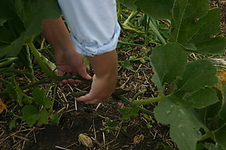 Cutting off the end of the vine.
