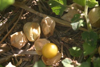 Ripe ground cherries fall to the ground