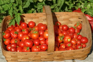 Basketful of 'Stupice' early tomatoes - Amy Grisak