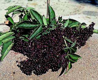 Elderberries - Jung's