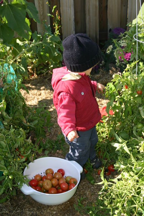 Sam harvesting tomatoes