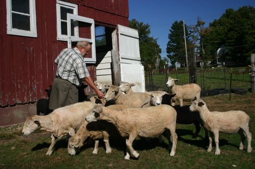66- Bob Hinman feeding sheep - Amy Grisak