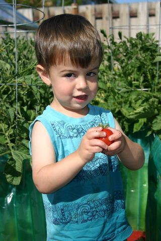 First tomato 2009