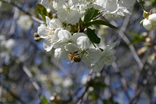 26- Honeybee on the pie cherry blossoms. The tree literally hums in the springtime - Amy Grisak