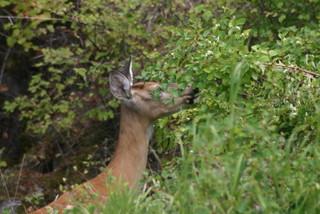 Leg,deer 015
