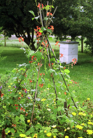 Scarlet_runner_beans_with_hive_in_b